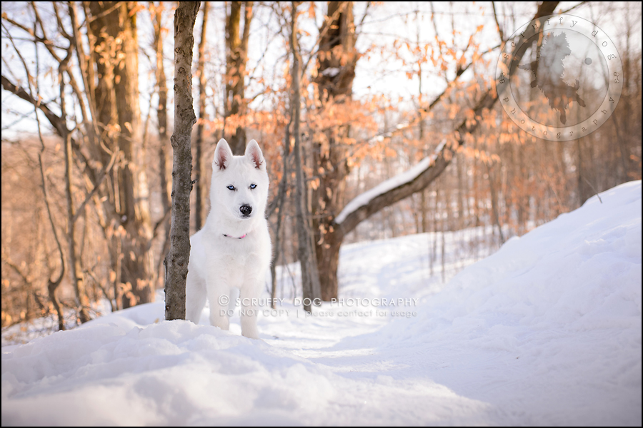 03_ontario_pet_photographer_alame huskies-412-Edit