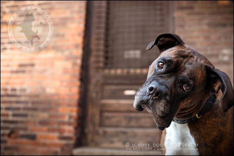 04_windsor_ontario_pet_photographer_capone echo barnett-26