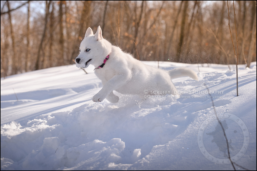 05_ontario_pet_photographer_alame huskies-80