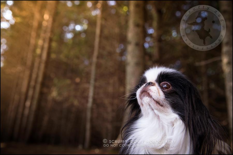 06_Toronto_pet_photographer_Japanese_chins_boey huey zoey szeto-309
