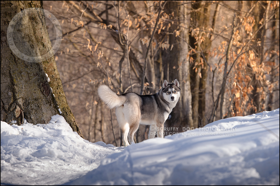 06_ontario_pet_photographer_alame huskies-130