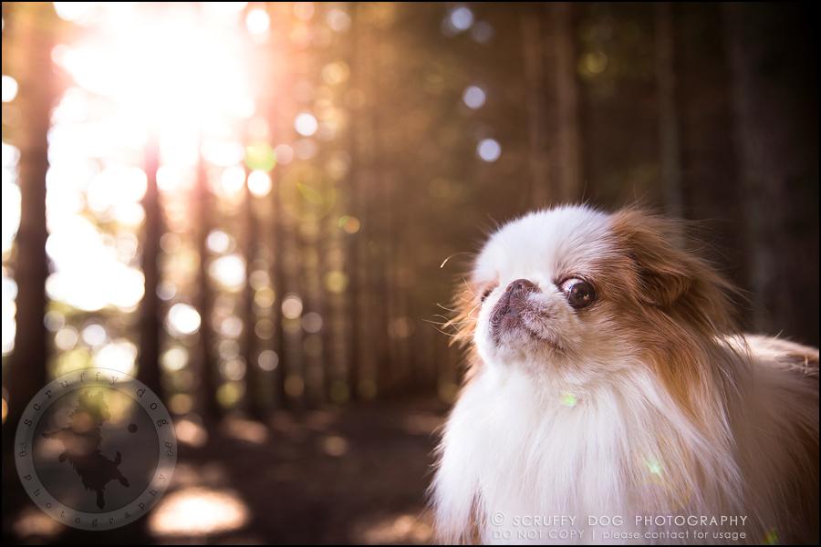 07_Toronto_pet_photographer_Japanese_chins_boey huey zoey szeto-315