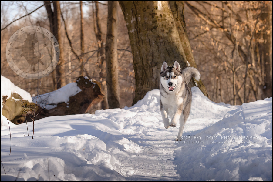 07_ontario_pet_photographer_alame huskies-114