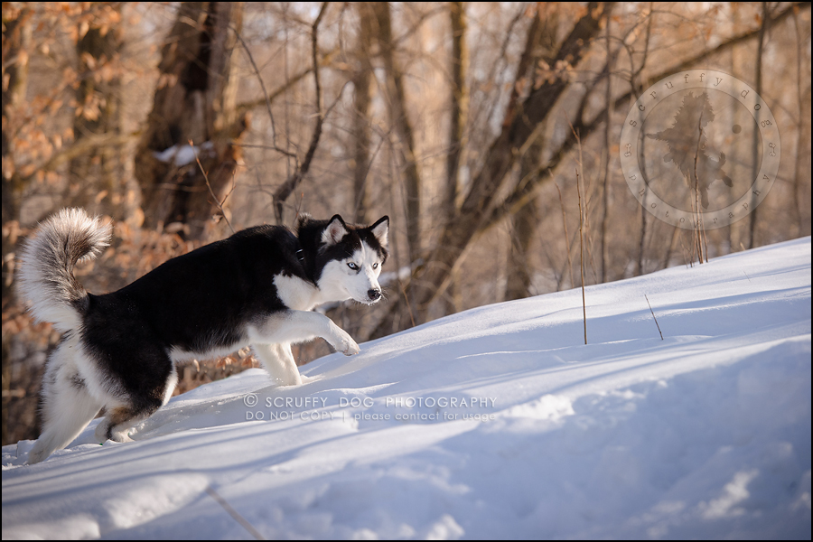 08_ontario_pet_photographer_alame huskies-201