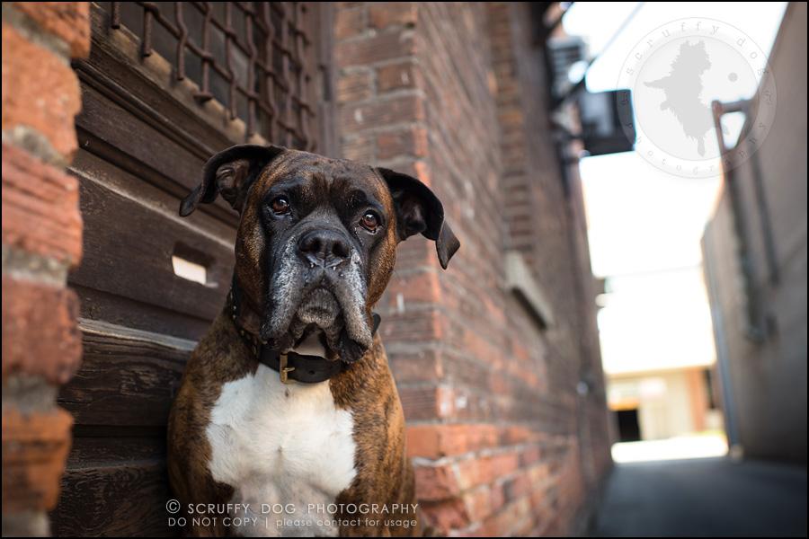 08_windsor_ontario_pet_photographer_capone echo barnett-50