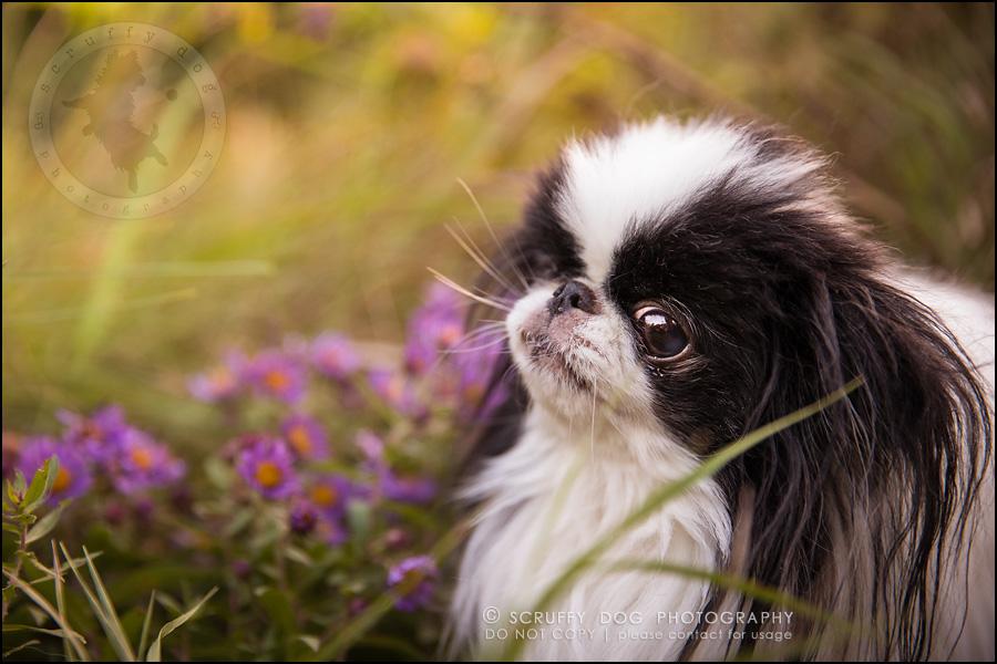 09_Toronto_pet_photographer_Japanese_chins_boey huey zoey szeto-476