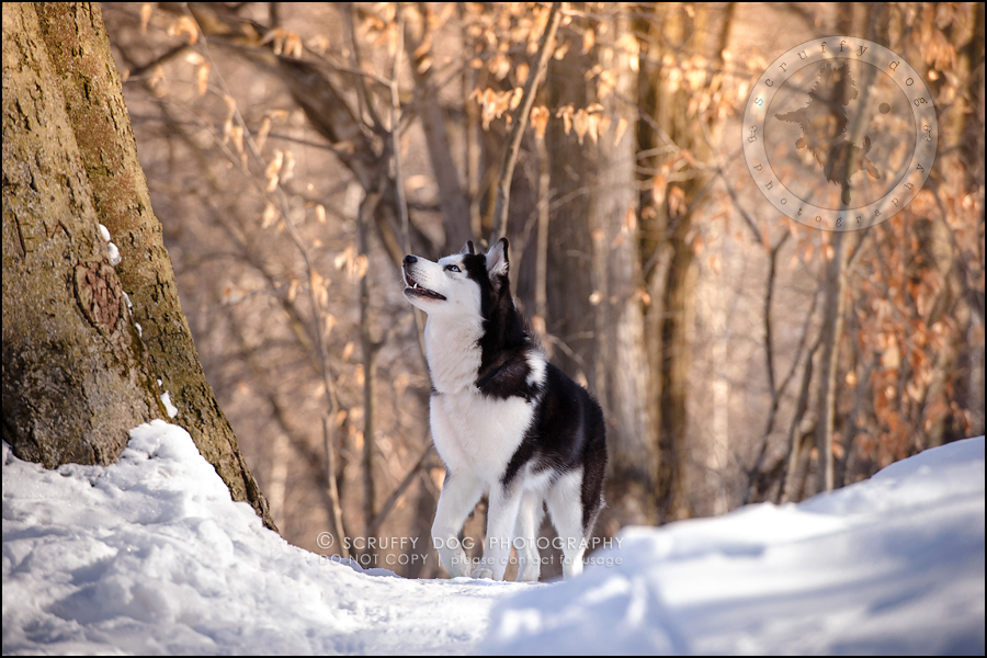 09_ontario_pet_photographer_alame huskies-187