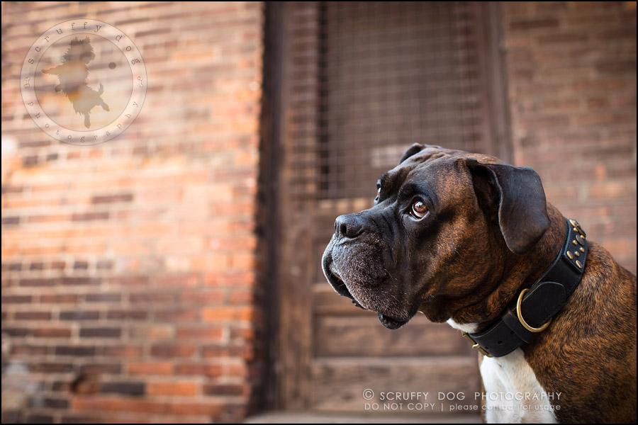 09_windsor_ontario_pet_photographer_capone echo barnett-27