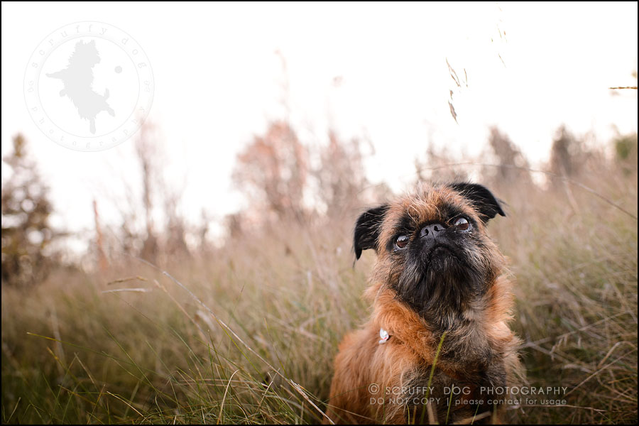 10_Toronto_pet_photographer_Brussels_Griffon_bosco murfy-741