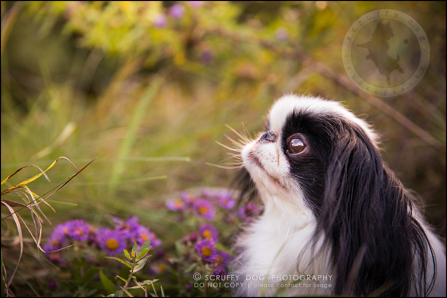 10_Toronto_pet_photographer_Japanese_chins_boey huey zoey szeto-490