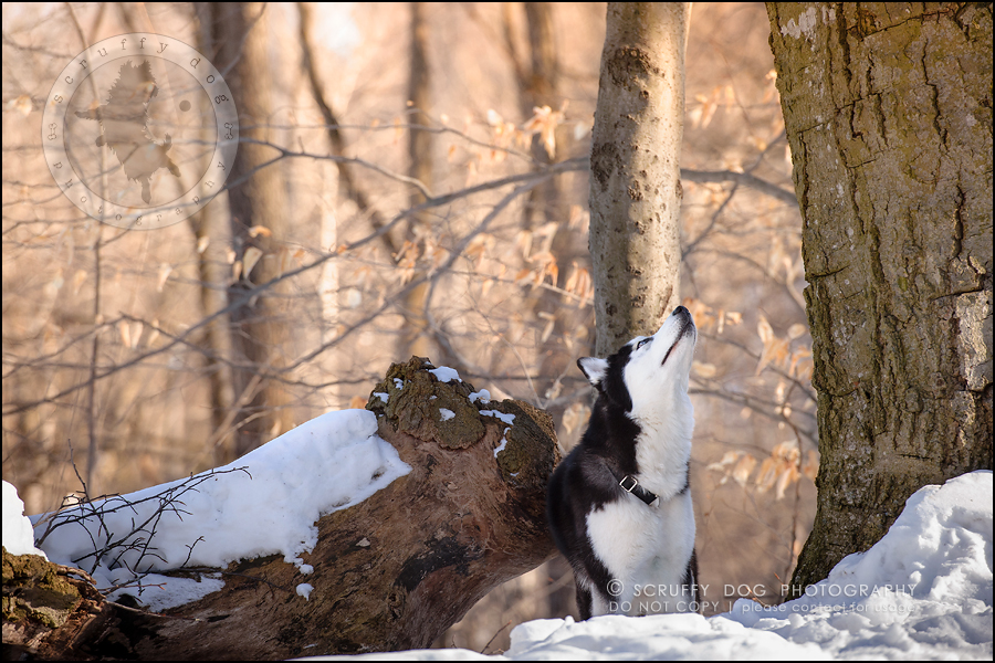 10_ontario_pet_photographer_alame huskies-162-Edit