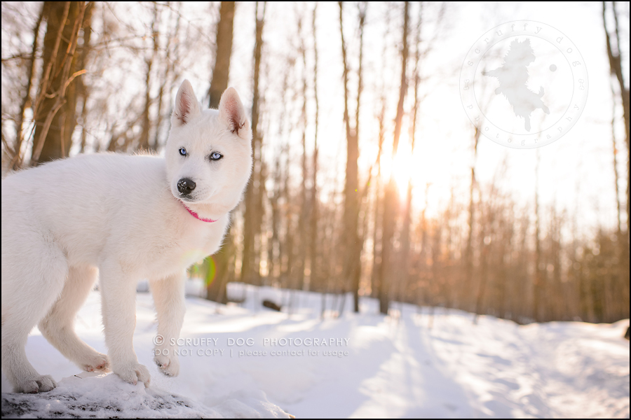 11_ontario_pet_photographer_alame huskies-567