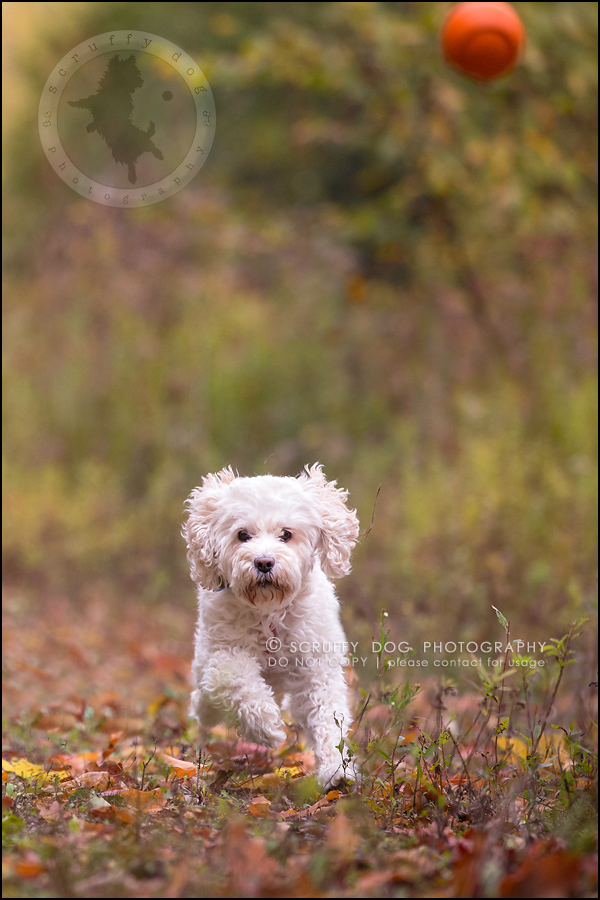 11waterloo_ontario_pet_exclusive_photographer_chinook george beckett-325