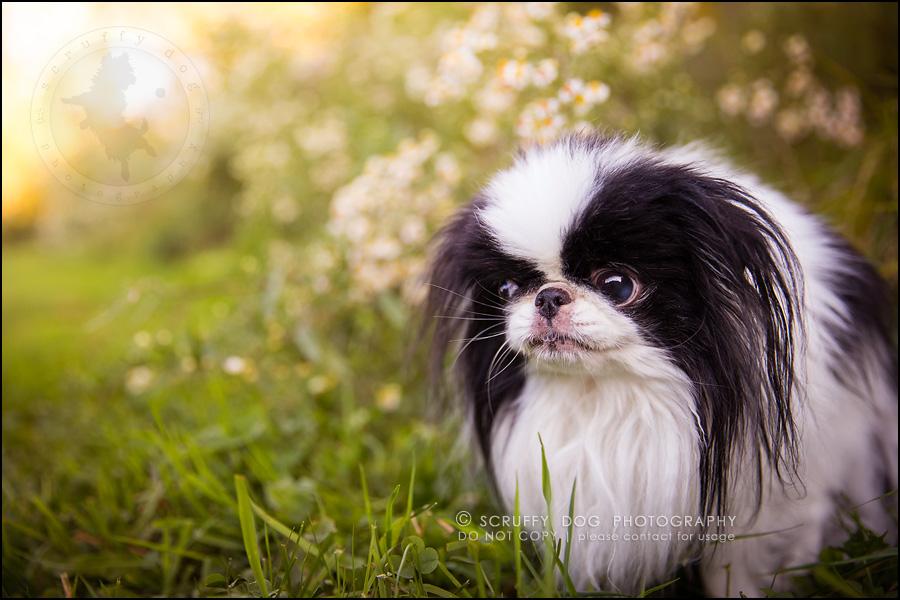 12_Toronto_pet_photographer_Japanese_chins_boey huey zoey szeto-549
