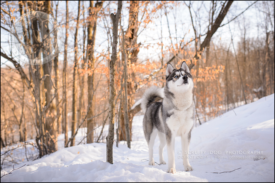 12_ontario_pet_photographer_alame huskies-443