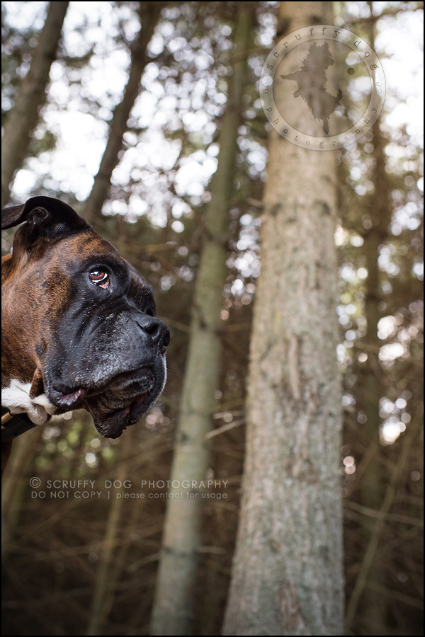 12_windsor_ontario_pet_photographer_capone echo barnett-339