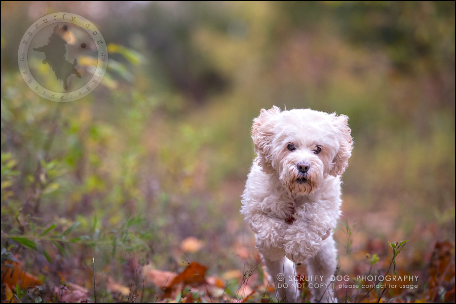 12waterloo_ontario_pet_exclusive_photographer_chinook george beckett-330