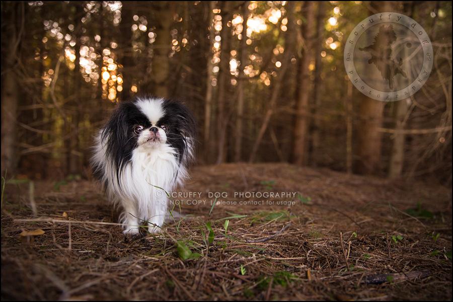 13_Toronto_pet_photographer_Japanese_chins_boey huey zoey szeto-615