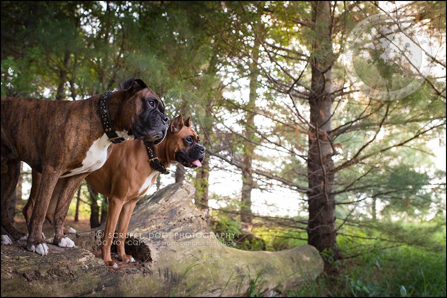 13_windsor_ontario_pet_photographer_capone echo barnett-354