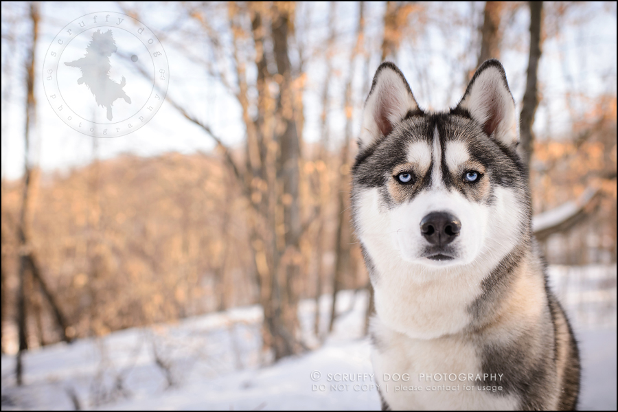 14_ontario_pet_photographer_alame huskies-462