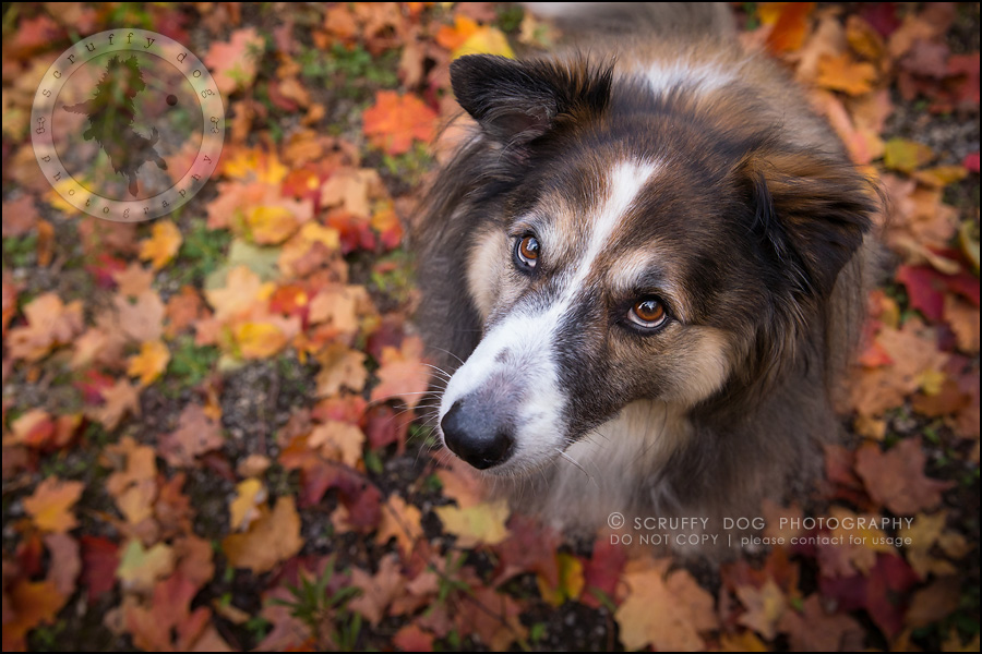 14waterloo_ontario_pet_exclusive_photographer_chinook george beckett-413