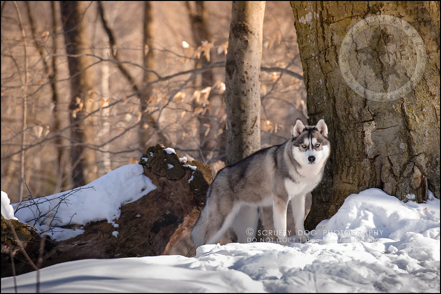 15_ontario_pet_photographer_alame huskies-91
