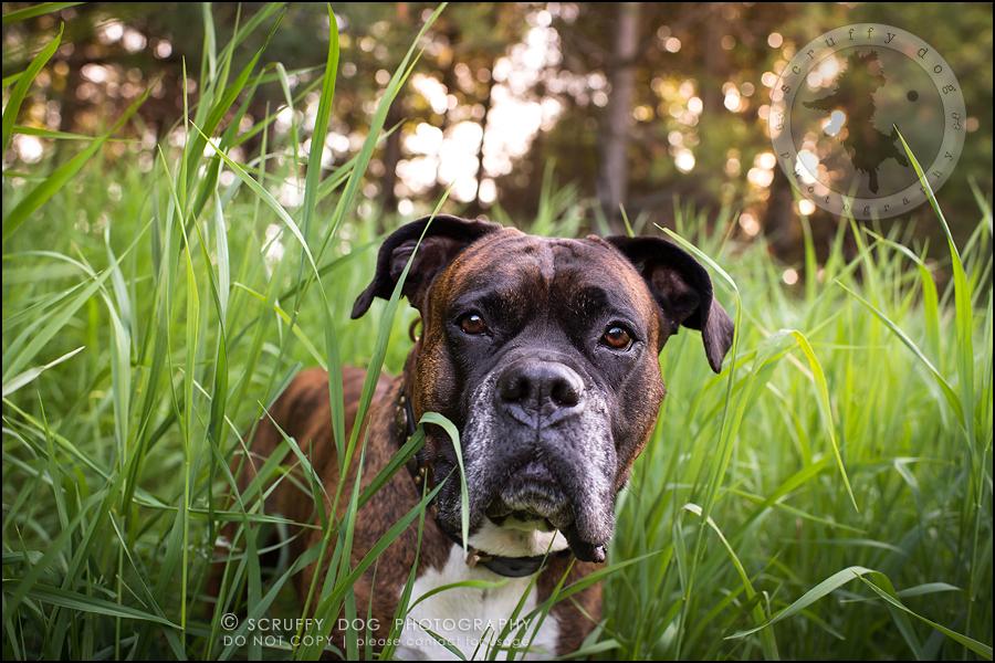 15_windsor_ontario_pet_photographer_capone echo barnett-423