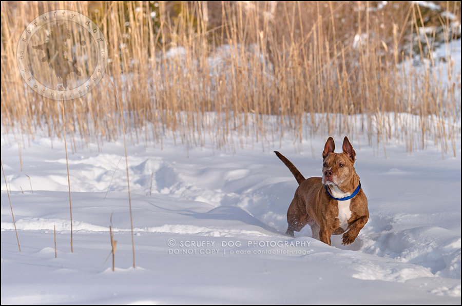 15toronto_ontario_pet_exclusive_photographer_diesel muffin hopkins-349