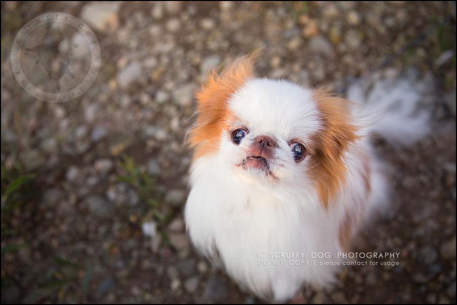 16_Toronto_pet_photographer_Japanese_chins_boey huey zoey szeto-872-Edit