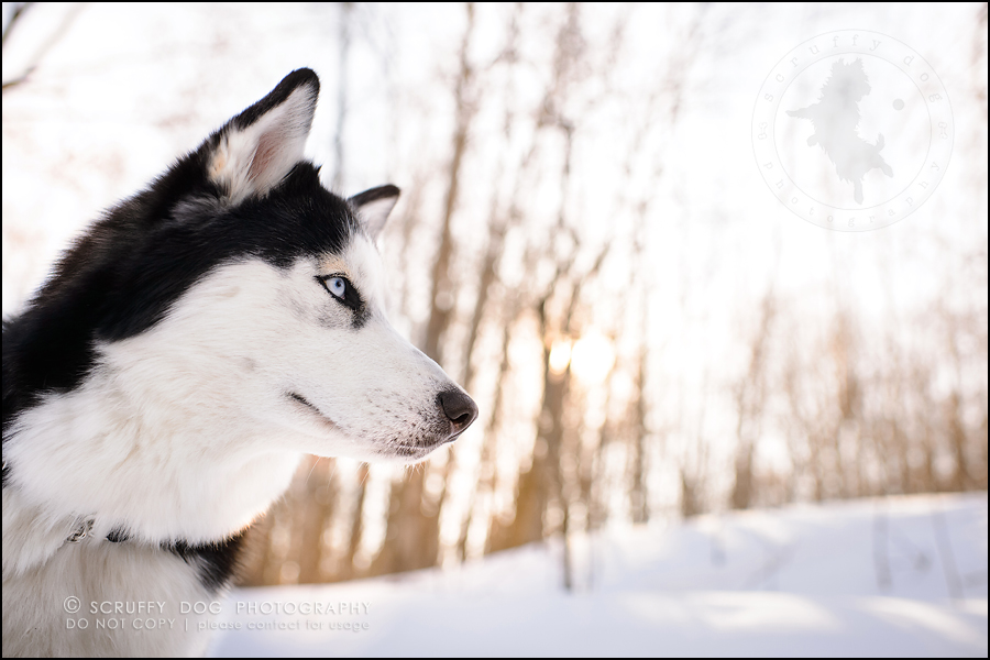 16_ontario_pet_photographer_alame huskies-507