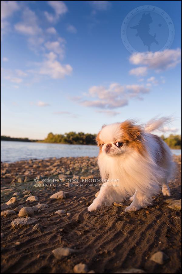 17_Toronto_pet_photographer_Japanese_chins_boey huey zoey szeto-762