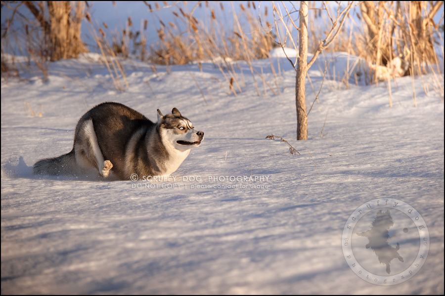 17_ontario_pet_photographer_alame huskies-246-Edit