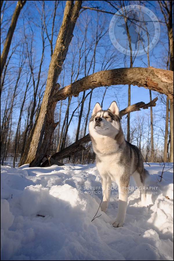 18_ontario_pet_photographer_alame huskies-231
