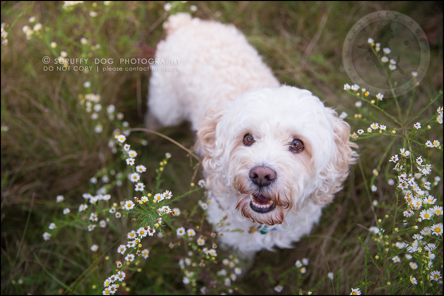 18waterloo_ontario_pet_exclusive_photographer_chinook george beckett-578
