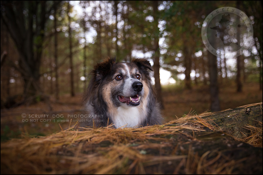 19waterloo_ontario_pet_exclusive_photographer_chinook george beckett-651