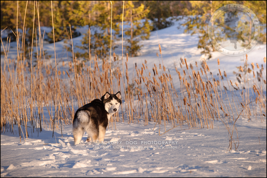 20_ontario_pet_photographer_alame huskies-302