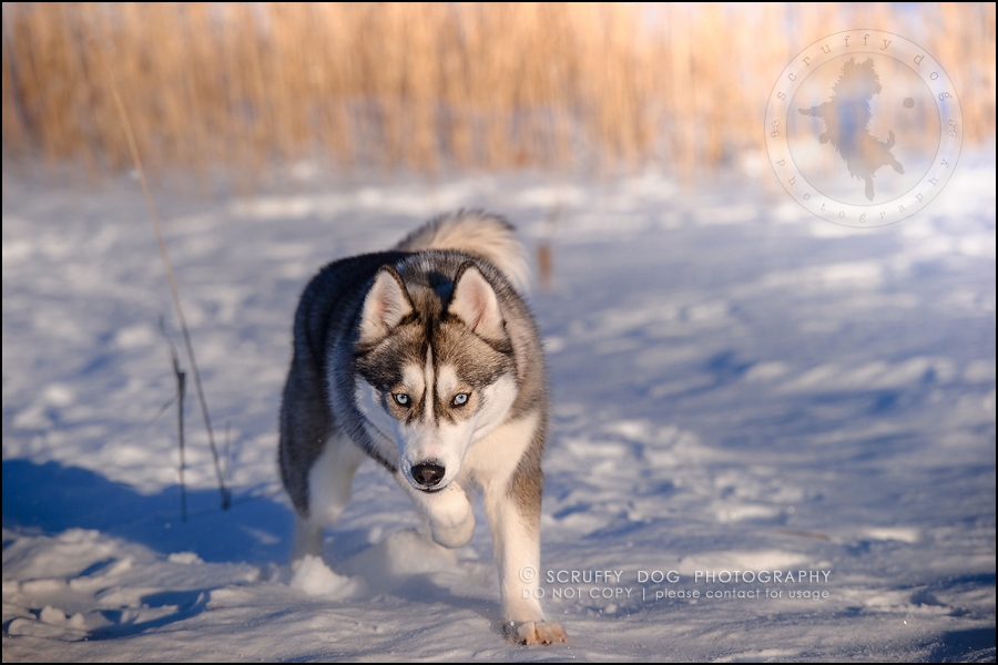 21_ontario_pet_photographer_alame huskies-271