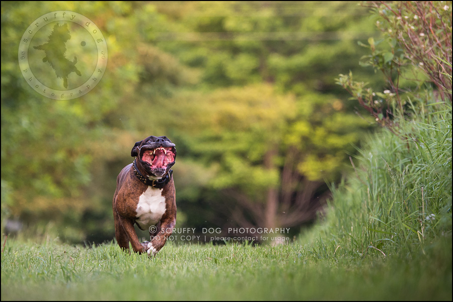 21_windsor_ontario_pet_photographer_capone echo barnett-606