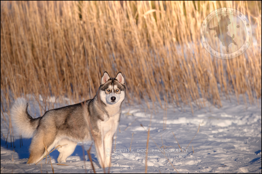 22_ontario_pet_photographer_alame huskies-268