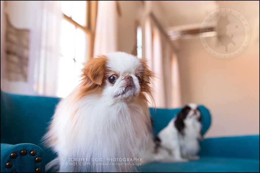 23_Toronto_pet_photographer_Japanese_chins_boey huey zoey szeto-1115