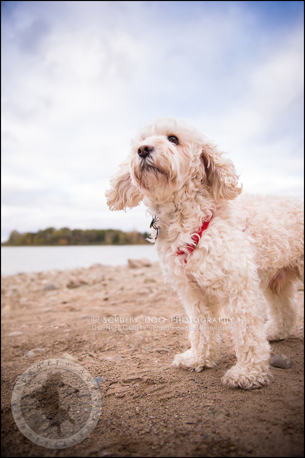 23waterloo_ontario_pet_exclusive_photographer_chinook george beckett-811