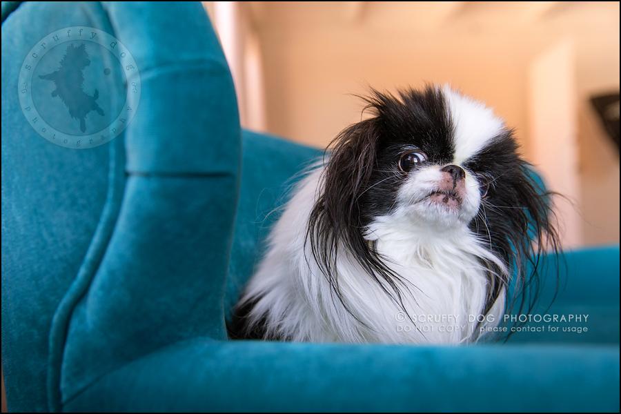 24_Toronto_pet_photographer_Japanese_chins_boey huey zoey szeto-1129
