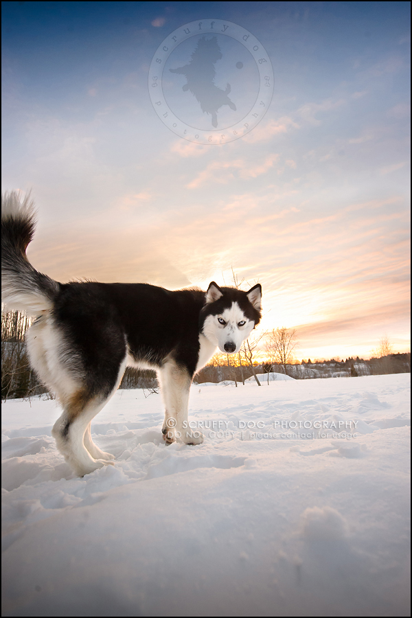 25_ontario_pet_photographer_alame huskies-358