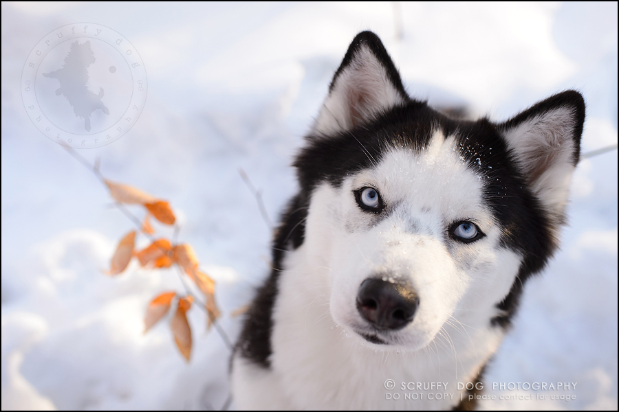 26_ontario_pet_photographer_alame huskies-602