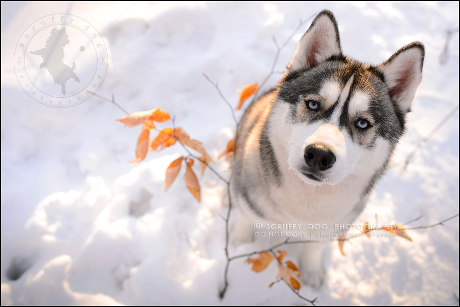 27_ontario_pet_photographer_alame huskies-624