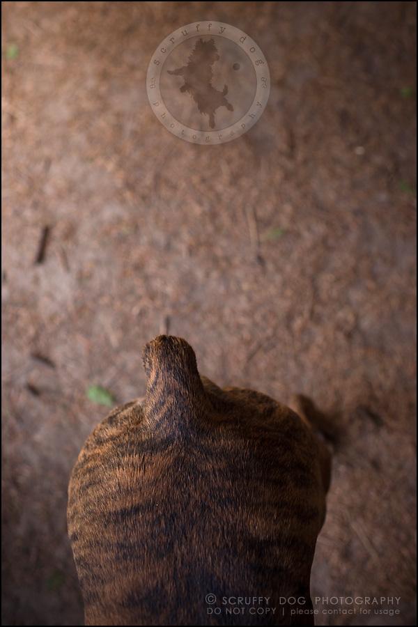 27_windsor_ontario_pet_photographer_capone echo barnett-345
