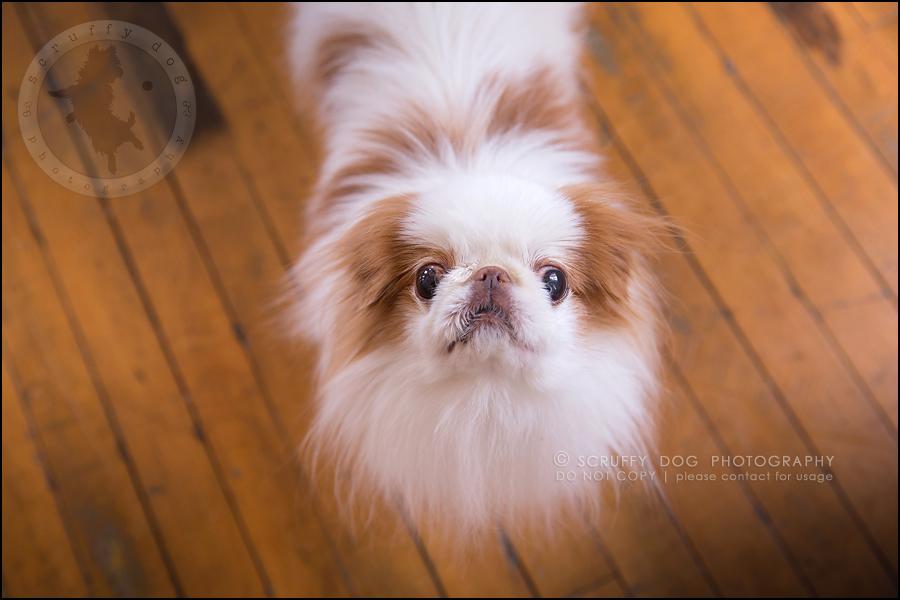 28_Toronto_pet_photographer_Japanese_chins_boey huey zoey szeto-1302