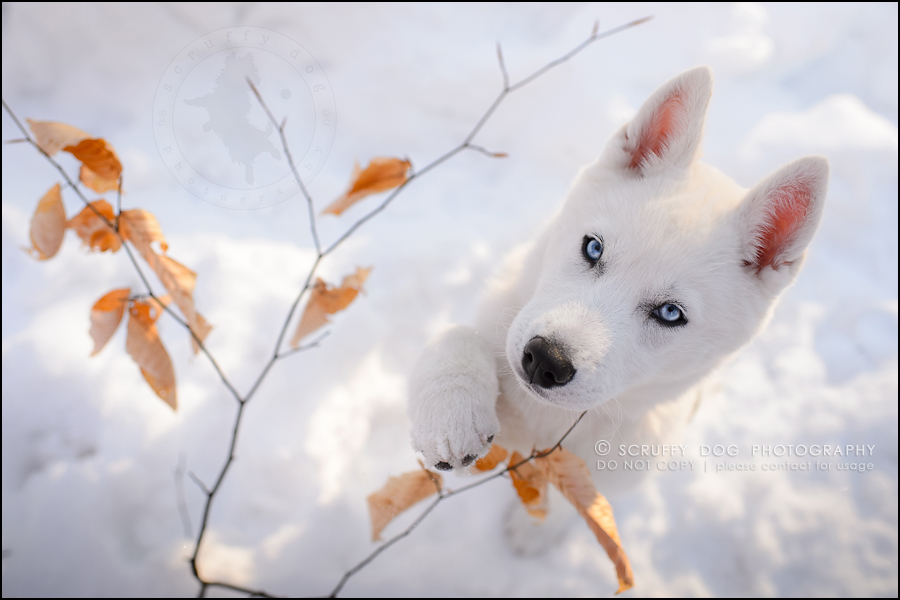 28_ontario_pet_photographer_alame huskies-586