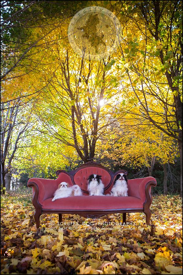 30_Toronto_pet_photographer_Japanese_chins_boey huey zoey szeto-1355