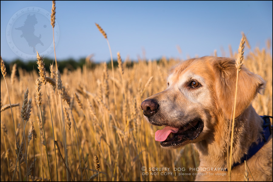 40toronto_ontario_pet_exclusive_photographer_diesel muffin hopkins-1099